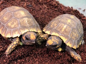 z OUT OF STOCK - YELLOW FOOT TORTOISE - CB BABIES - Chelonoidis denticulata