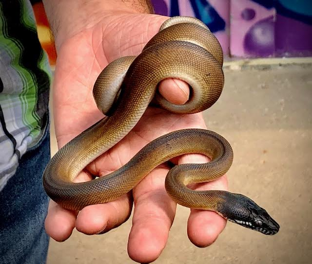 z (OUT OF STOCK) - NORTHERN WHITE LIPPED PYTHON - WC baby MALE,  Leiopython albertisii