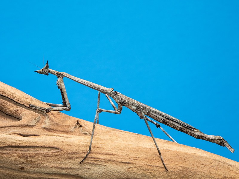 z OUT OF STOCK - Heterochaeta orientalis - CAT'S EYE MANTIS - babies, L2 or bigger