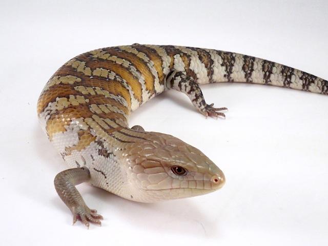 BLUE TONGUE SKINK Caresheet | Reptile Rapture