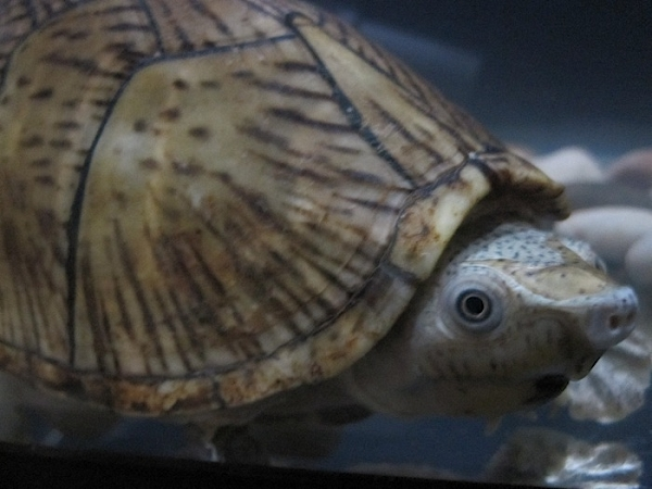 z OUT OF STOCK - RAZOR BACKED MUSK TURTLE - Sternotherus carinatus, approx 5