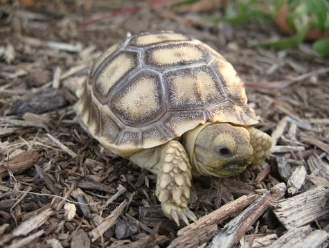 z OUT OF STOCK - SULCATA TORTOISE, CB BABIES - Centrochelys sulcata