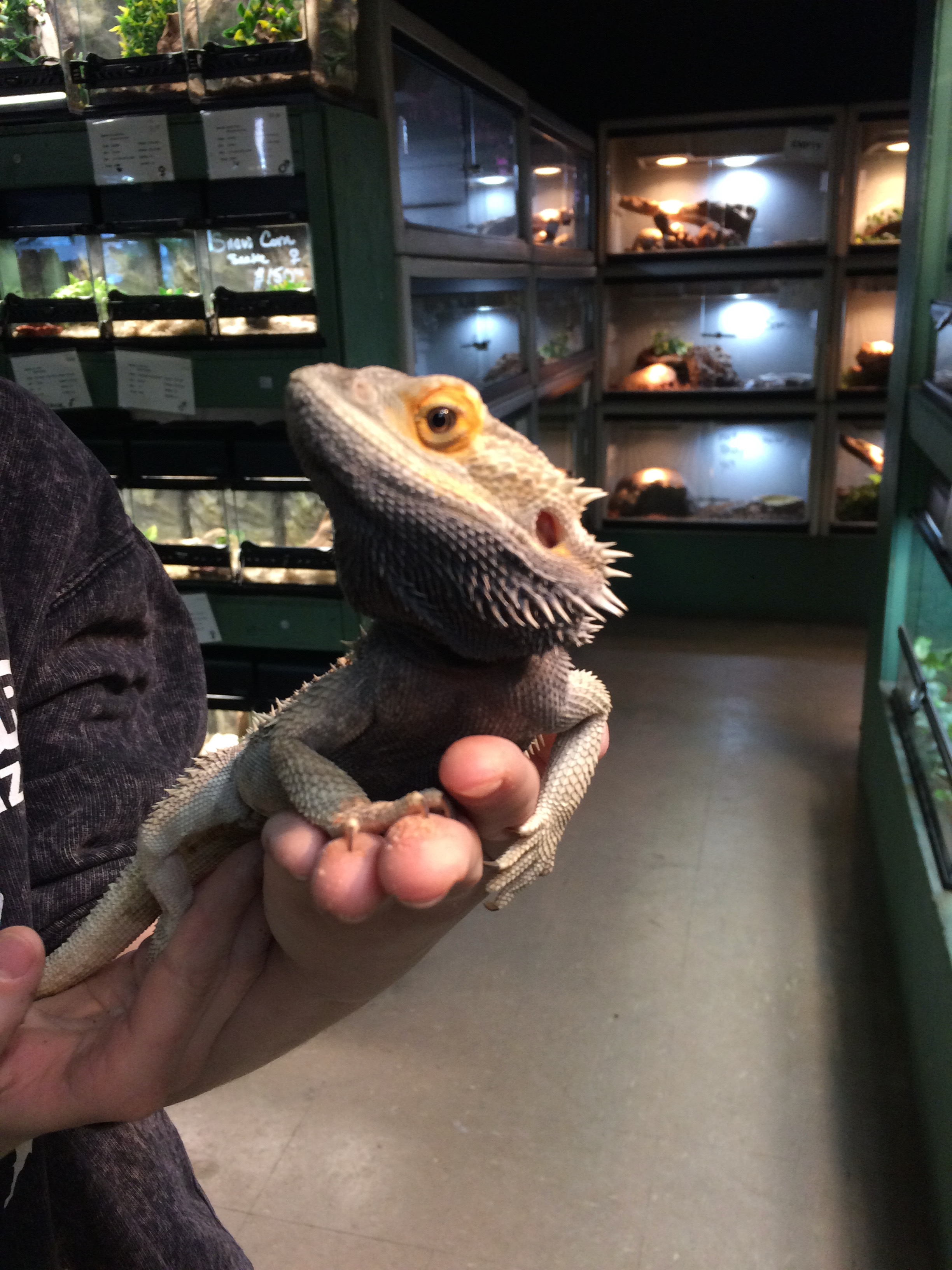 ALREADY ADOPTED - BEARDED DRAGON - METEOR