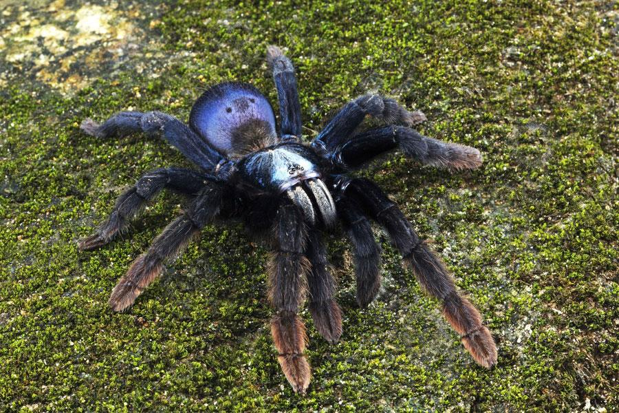 z OUT OF STOCK - Haploclastus devamatha (previously Thrigmopoeus psychedelicus) - INDIAN RAINBOW TARANTULA, CB .75