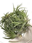 OUT OF STOCK - AIRPLANT - Tillandsia abdita