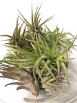 z OUT OF STOCK - AIRPLANT - Tillandsia velutina