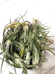 z OUT OF STOCK - AIRPLANT - Tillandsia caput medusae