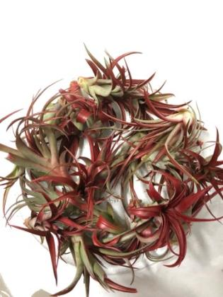 OUT OF STOCK - AIRPLANT - Tillandsia red abdita