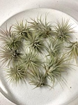 OUT OF STOCK - AIRPLANT - Tillandsia lonantha guatemala