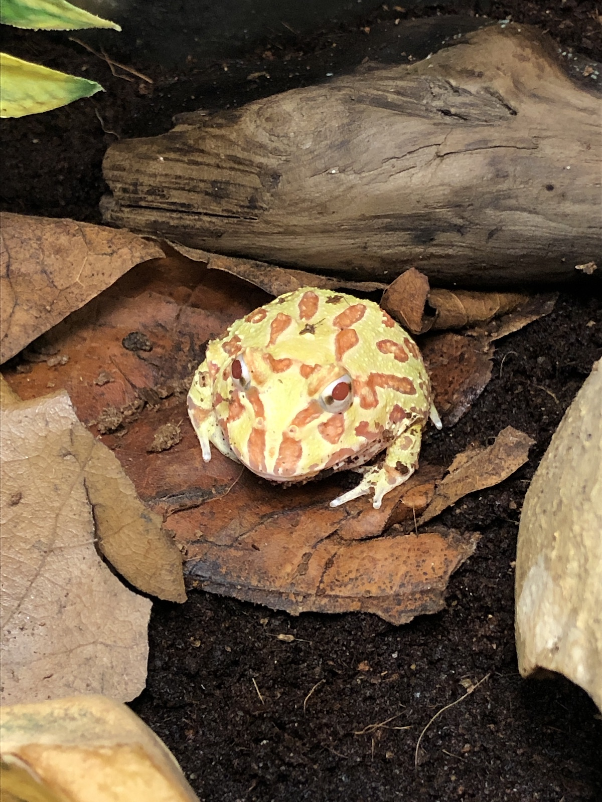 z OUT OF STOCK - PACMAN ALBINO - CB, Ceratophrys cranwelli