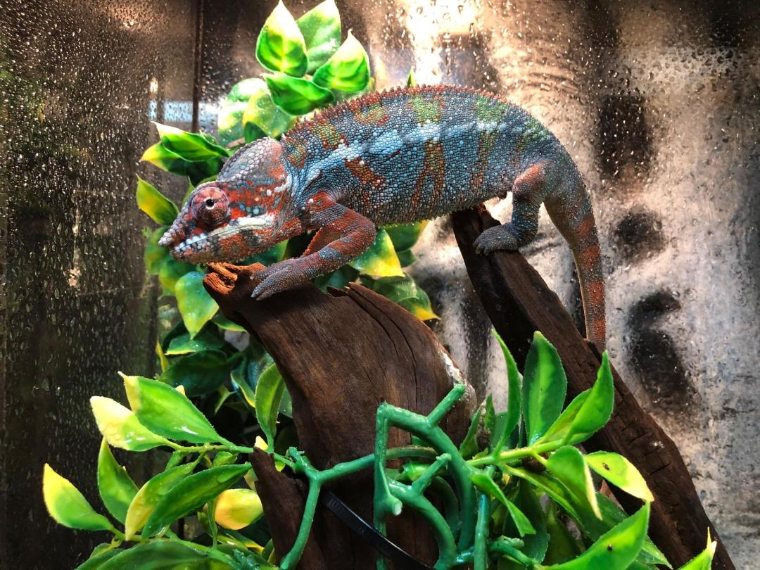 z OUT OF STOCK - AMBILOBE PANTHER CHAMELEON - CB Males, Furcifer pardalis