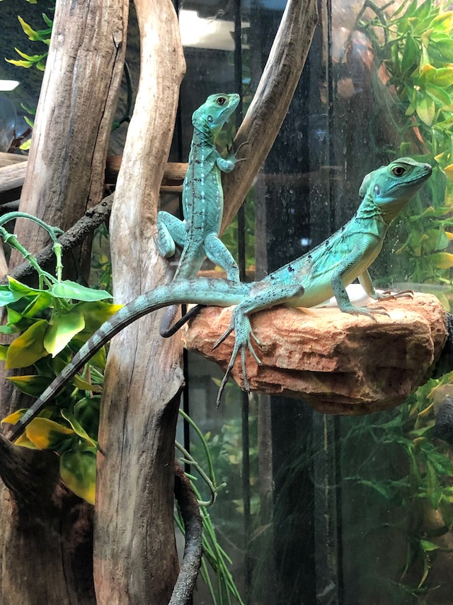 z ALREADY ADOPTED - GREEN BASILISK baby