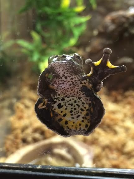 z OUT OF STOCK - BIRD POOP FROGS - Hyla marmorata