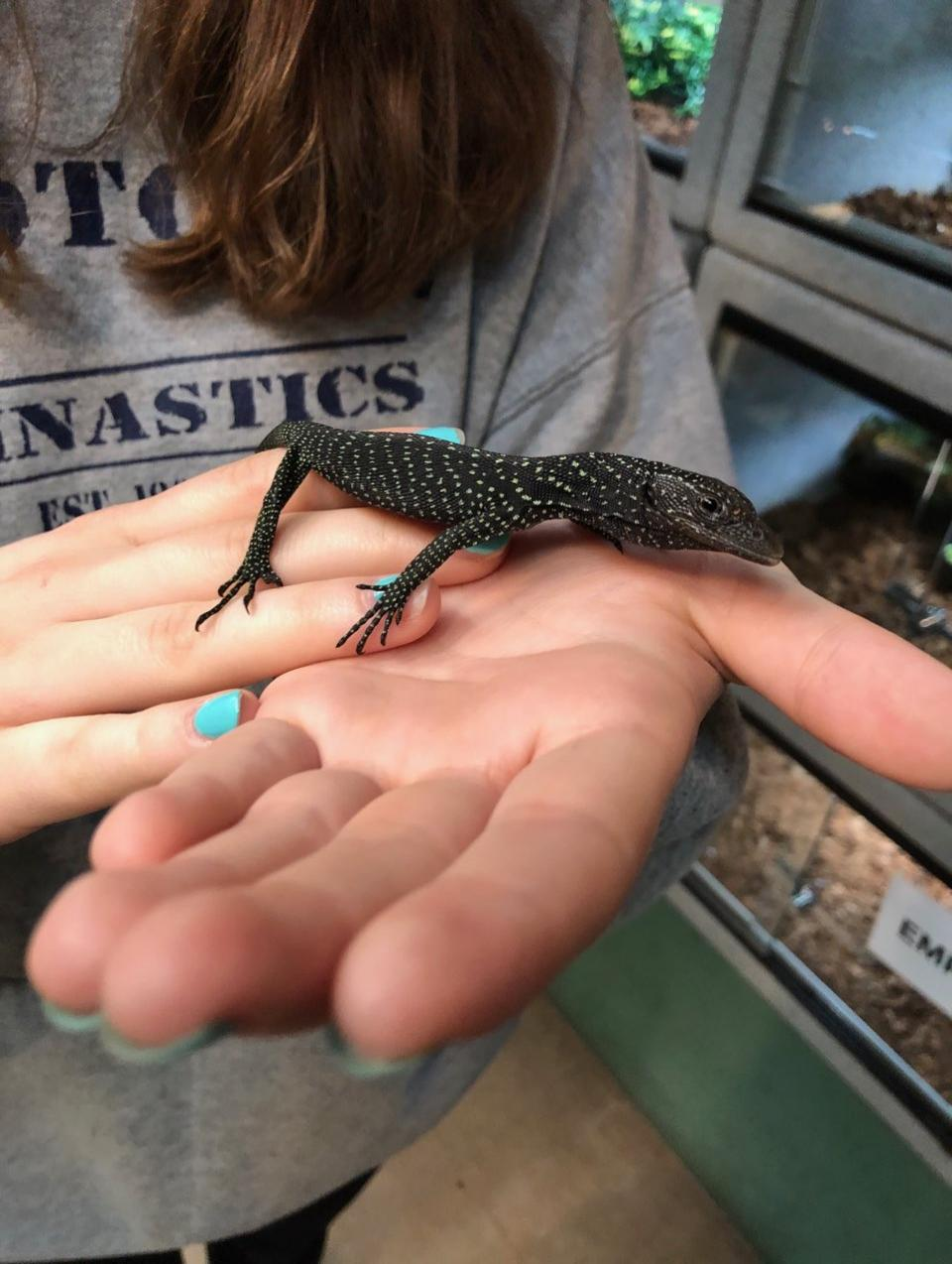 z OUT OF STOCK - BLACK TREE MONITOR, CB BABY  - Varanus beccarii (Bred at Reptile Rapture)