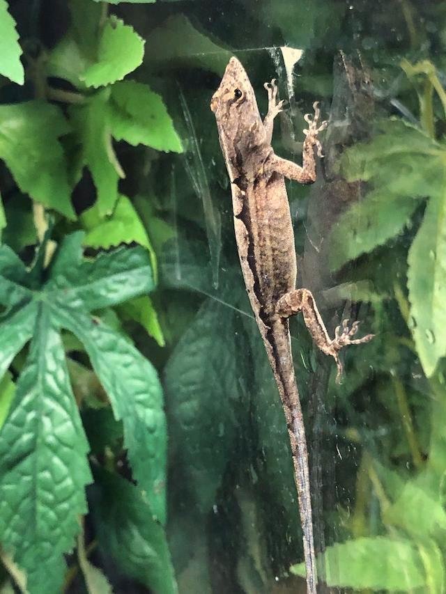 z OUT OF STOCK - BROWN ANOLES, WC - Anolis sagrei