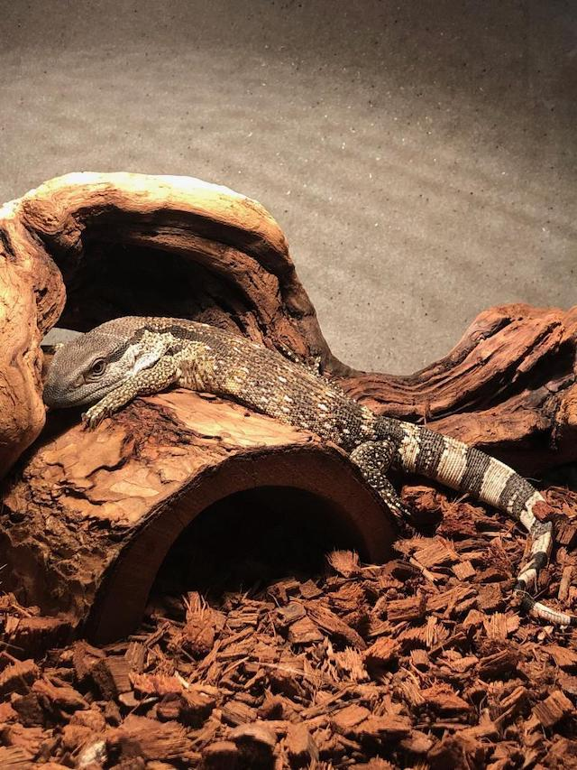 z OUT OF STOCK - CH CAPE BANDED WHITE THROATED MONITOR - BIG BABy - Varanus albigularis
