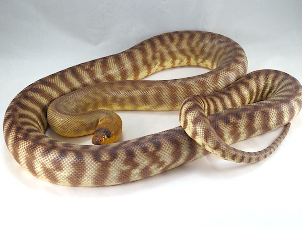 Woma Pythons Caresheet Reptile Rapture
