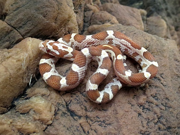 CORN SNAKE Caresheet | Reptile Rapture