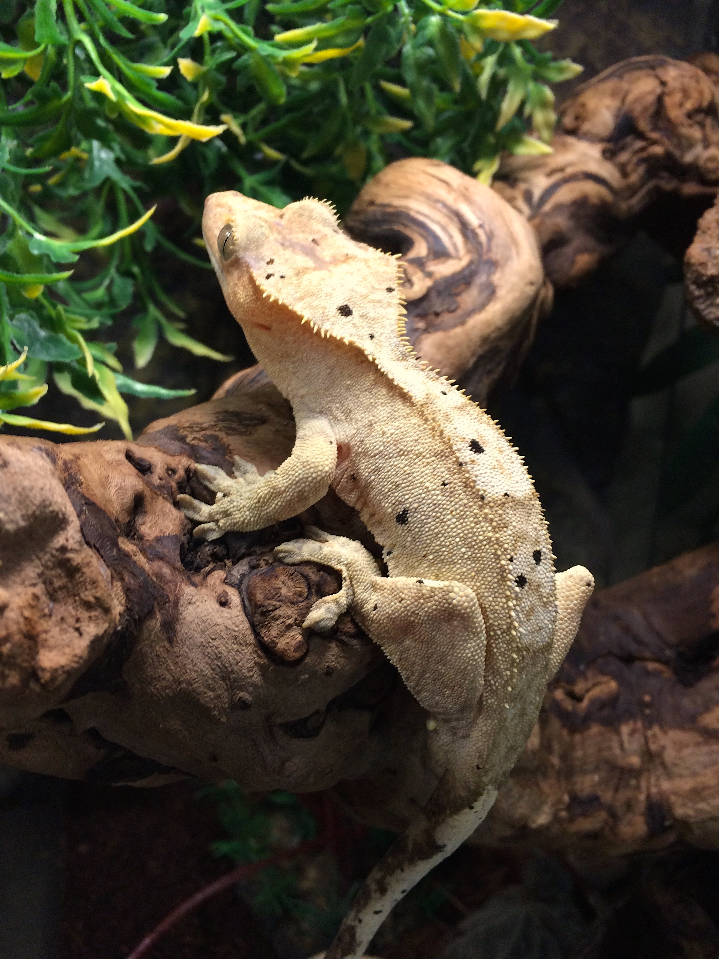 z OUT OF STOCK - CRESTED GECKO DALMATIAN - CB adult Male, Correlophus ciliatus, (t)