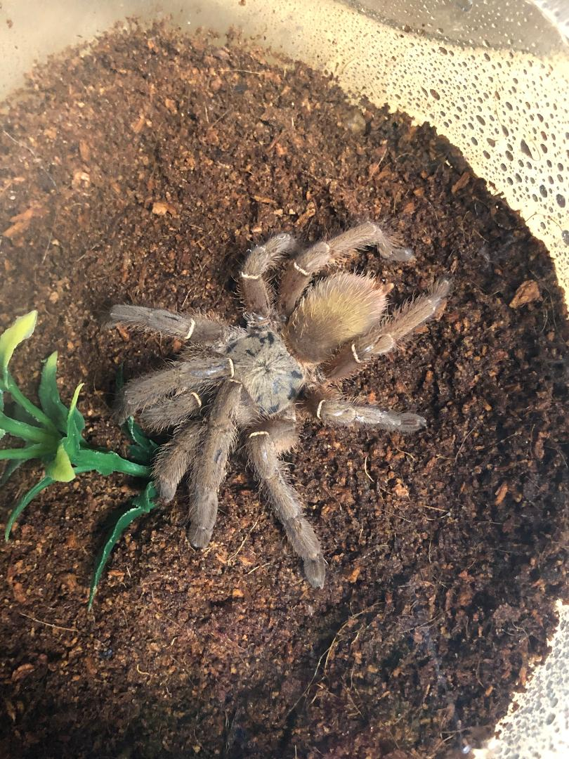 z OUT OF STOCK - Ephebopus species - EMERALD SKELETON TARANTULA, 1-2