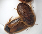 DUBIA ROACHES - LIVE - (STORE PICK UP ONLY)