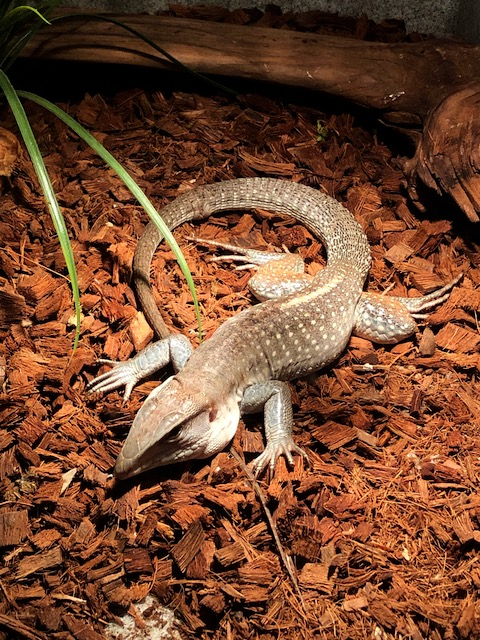 z OUT OF STOCK - GIANT BLUE COLOMBIAN AMEIVA, WC