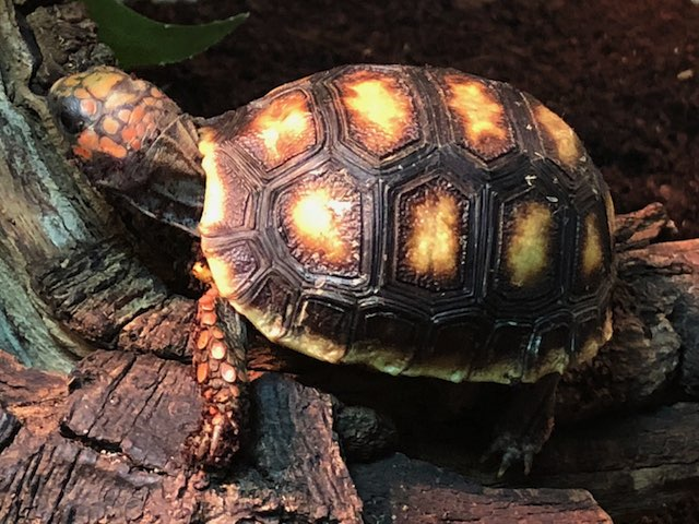 z OUT OF STOCK - GRENADA ISLAND RED FOOT TORTOISE - CB BABIES - Chelonoidis carbonaria