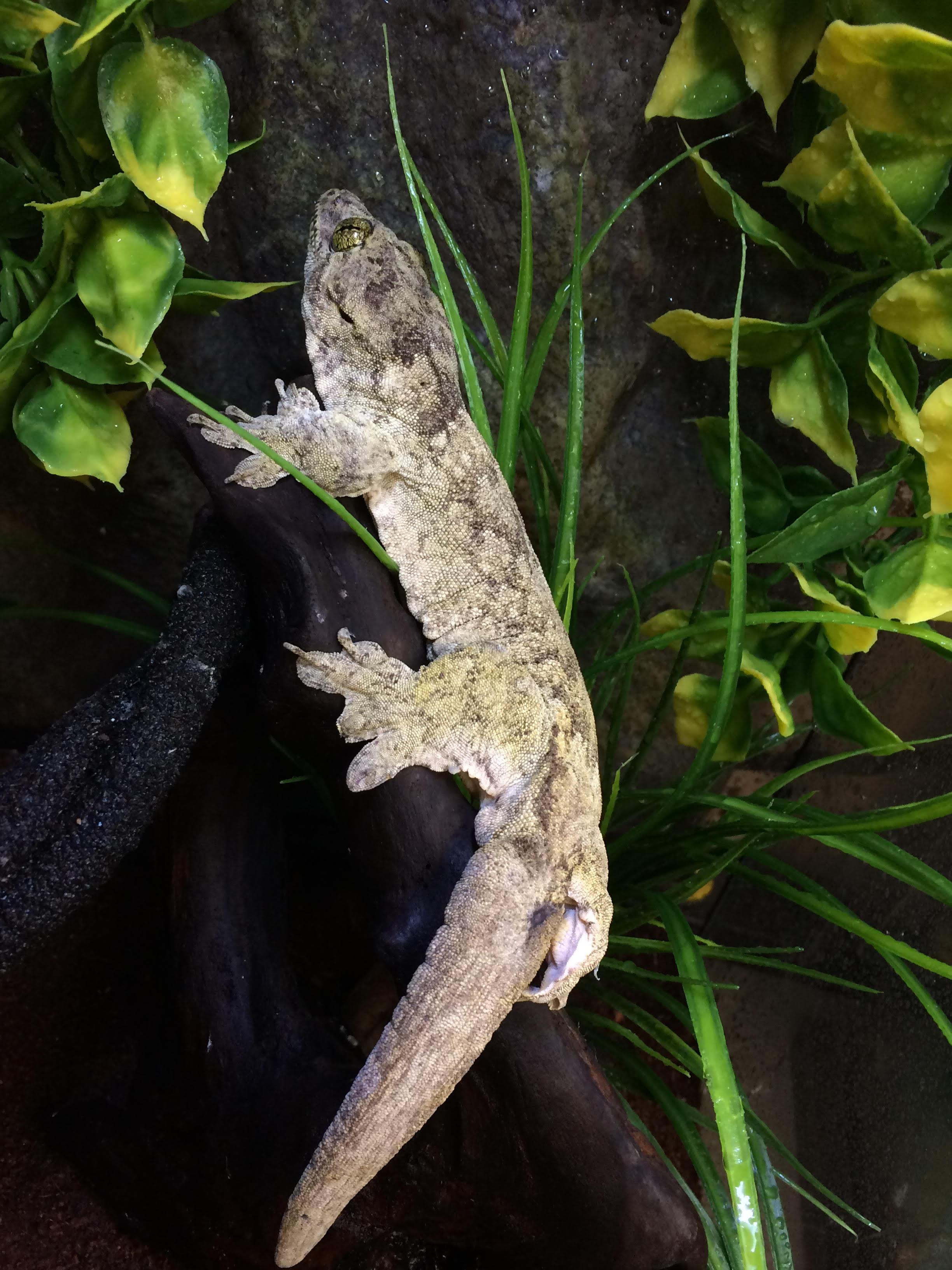 Z Out Of Stock Halmahera Giant Gecko Wc Gehyra Marginata