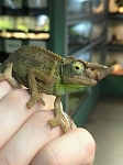 z OUT OF STOCK - JACKSON's CHAMELEON male - Trioceros jacksonii