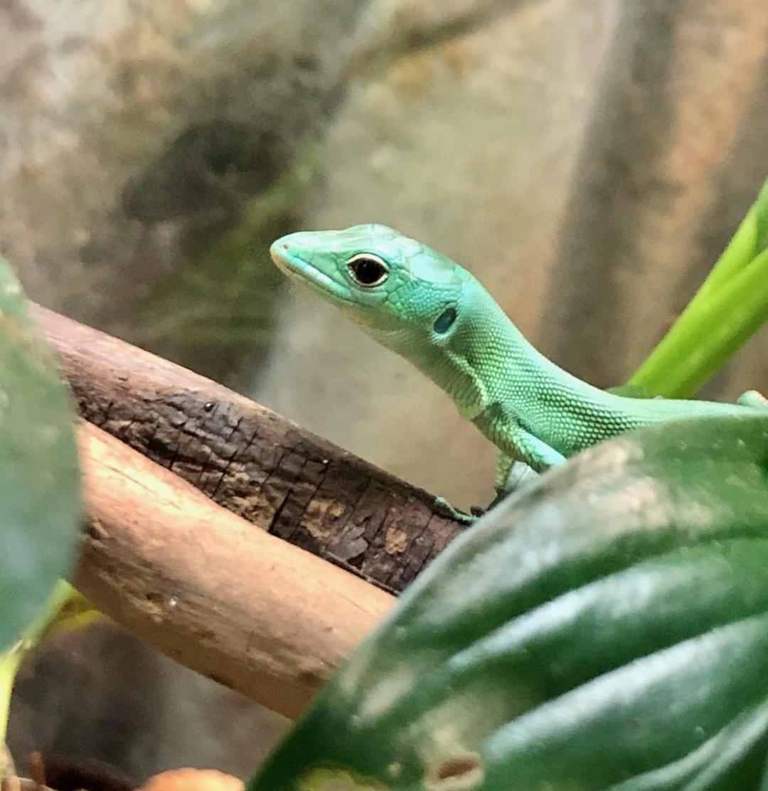 z OUT OF STOCK - GREEN KEELED LIZARD - CB BABIES (Gastropholis prasina) (Born at Reptile Rapture)