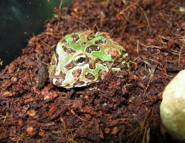 z OUT OF STOCK - PACMAN frog - Ceratophrys cranwelli, CB GREEN babies