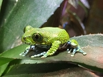 z OUT OF STOCK - BIG EYED OR PEACOCK TREE FROG, Leptopelis vermiculatus