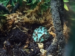 z OUT OF STOCK - BLUE SAMURAI PACMAN FROG, Ceratophrys cranwelli