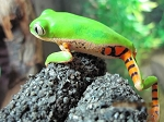 z OUT OF STOCK - TIGER LEG  - WC MONKEY TREE FROG  - Phyllomedusa hypochondrialis