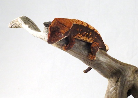 CRESTED GECKO BABIES - Correlophus ciliatus, CB babies, ASSORTED COLORS,  (formerly Rhacodactylus)