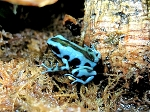 z OUT OF STOCK - CB BLUE & BLACK AURATUS - Dendrobates auratus