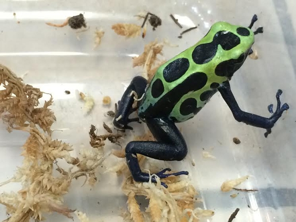 z OUT OF STOCK - GREEN SIPALIWINI, CB DART FROGS - big babies, Dendrobates tinctorius