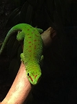 z OUT OF STOCK - GIANT DAY GECKO - Phelsuma madagascariensis, CB