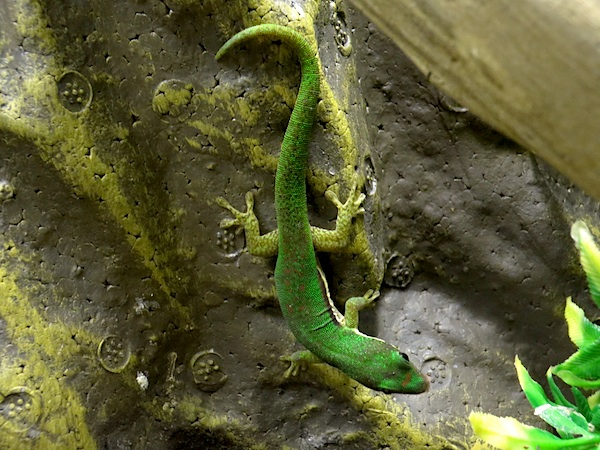 z OUT OF STOCK - LINED DAY GECKO, CB - Phelsuma lineata