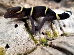 z OUT OF STOCK - CHINESE CAVE GECKO - Goniurosaurus lichtenfelderi
