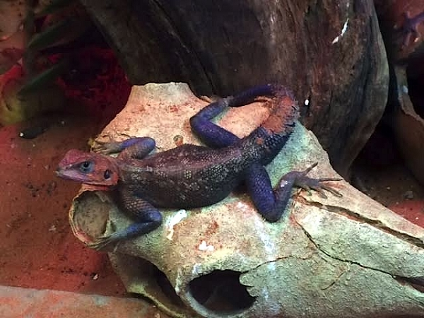 z OUT OF STOCK - WC SPIDERMAN AGAMA - Agama mwanzae - MALE