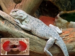 z OUT OF STOCK - WC TOAD HEADED AGAMA - Phrynocephalus mystaceus
