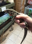 z OUT OF STOCK - CB CHACOAN ARGENTINE BLACK & WHITE TEGU, Salvator merianae