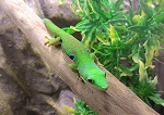 z OUT OF STOCK - PEACOCK DAY GECKO, CB, Phelsuma quadriocellata