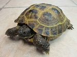 z OUT OF STOCK - RUSSIAN TORTOISES - WC adult MALES - Testudo horsfieldii