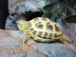 z OUT OF STOCK - CB RUSSIAN TORTOISES - babies - Testudo horsfieldii