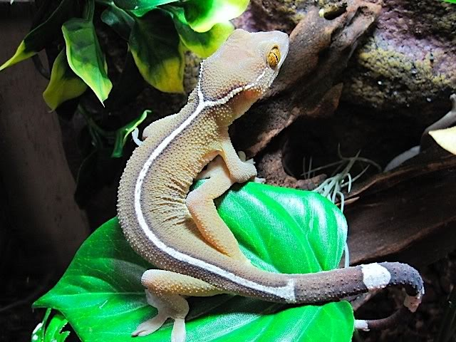 z OUT OF STOCK - WHITE LINE GECKO, WC, Gekko vittatus