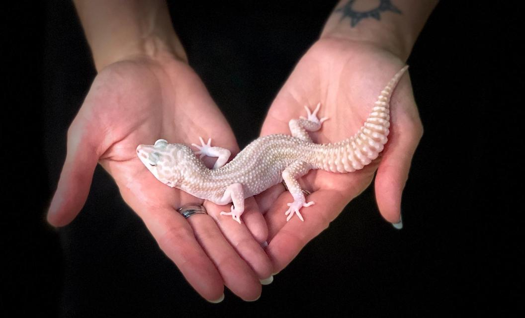 z OUT OF STOCK - LEOPARD GECKO  - MACK SUPER SNOW TREMPER ALBINO, CB MALE (Eublepharis macularius)