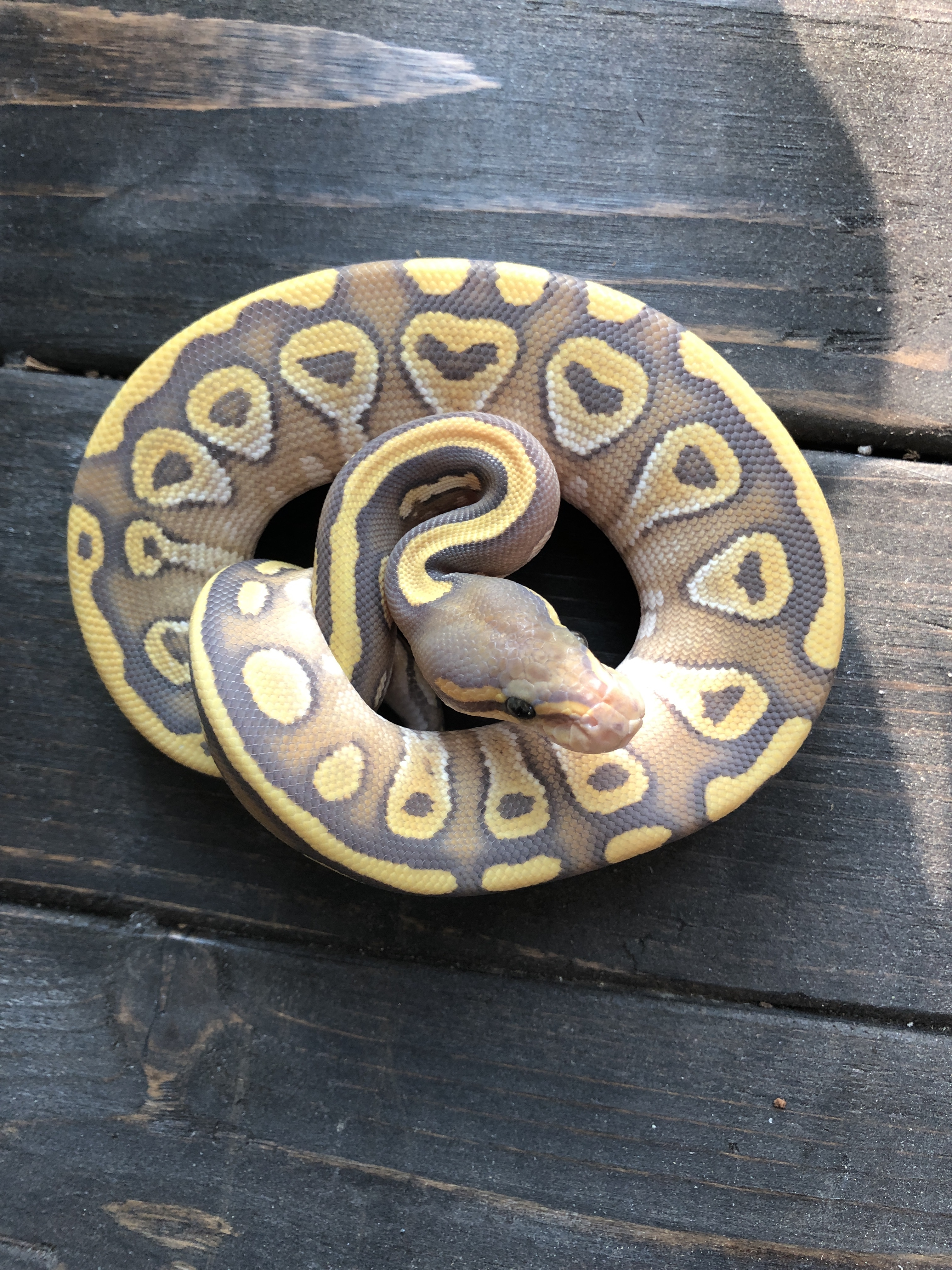 z OUT OF STOCK - ORANGE GHOST MOJAVE BALL PYTHON - CB FEMALE 2020, Python regius (t)2