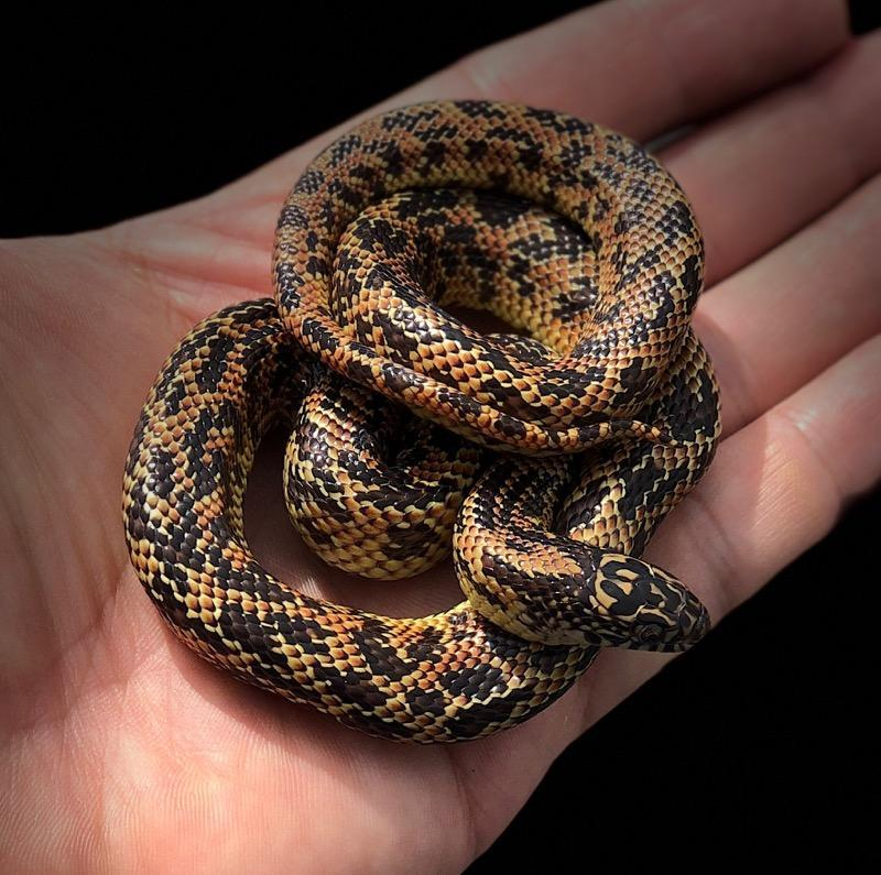 z OUT OF STOCK - MOSAIC FLORIDA KING SNAKE - FEMALE - Lampropeltis getula